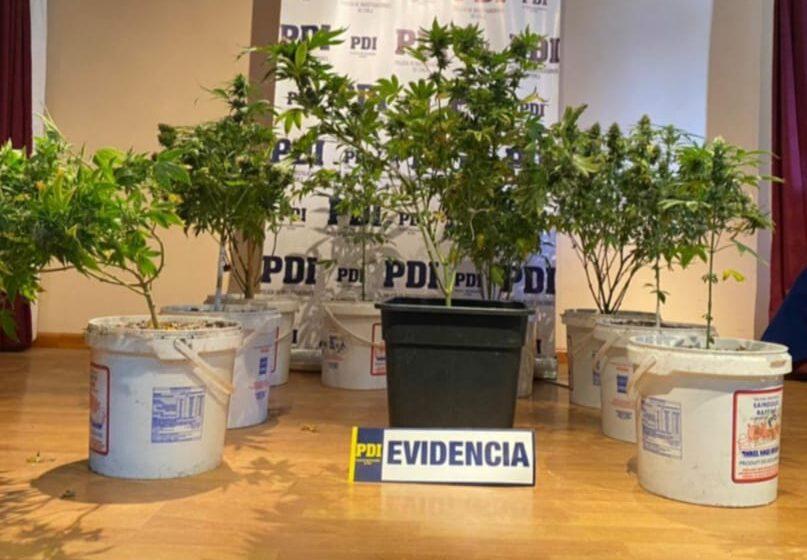 PDI incauta cultivo indoor de cannabis sativa y detiene a un infractor de la Ley 20.000