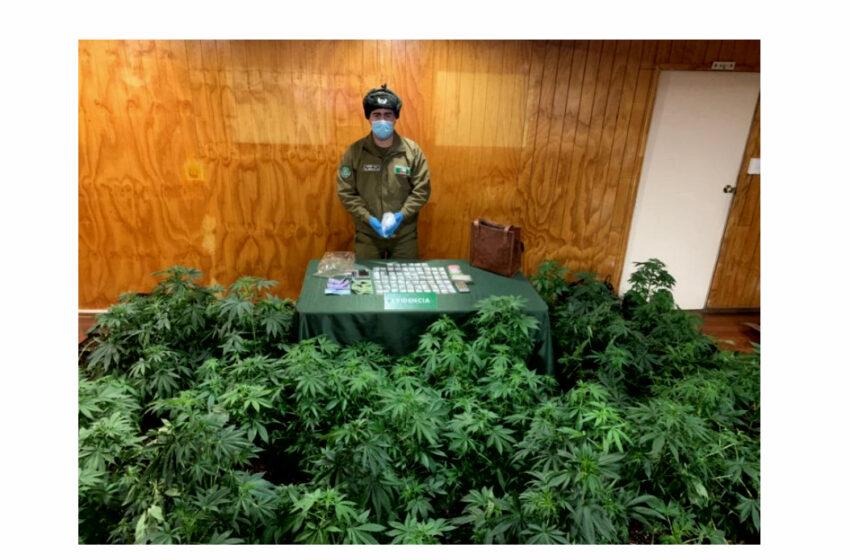 Desarticulan una banda que cultivaba y traficaba drogas en Punta Arenas