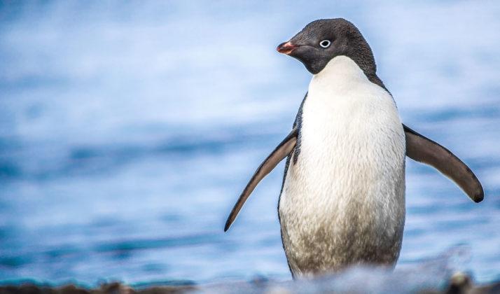 Investigadores chilenos descubren virus nuevo para pingüinos antárticos