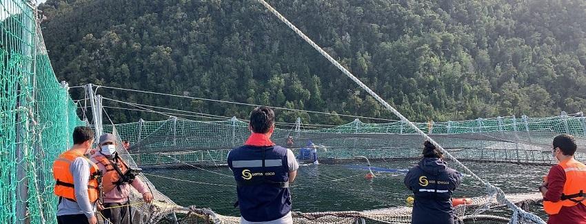 Ya son 4 Mil toneladas de salmones muertos por floración algal en el sur de Chile