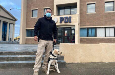 Brigada Antinarcóticos de la PDI de Punta Arenas incorpora un nuevo guía canino