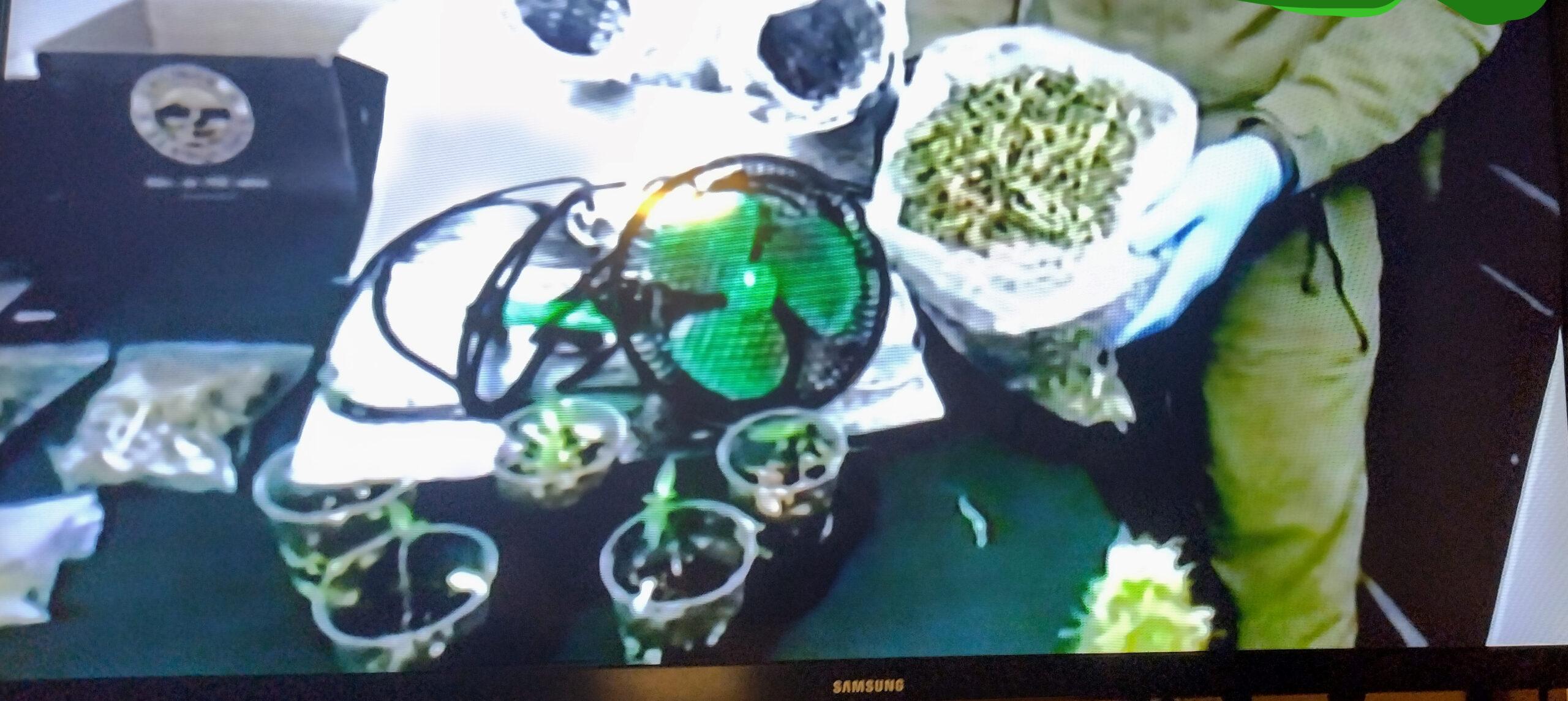 Formalizado por microtráfico y cultivo  de cannabis sativa